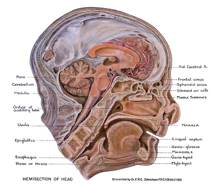 Clinical Anatomy | Cheney Illustrations
